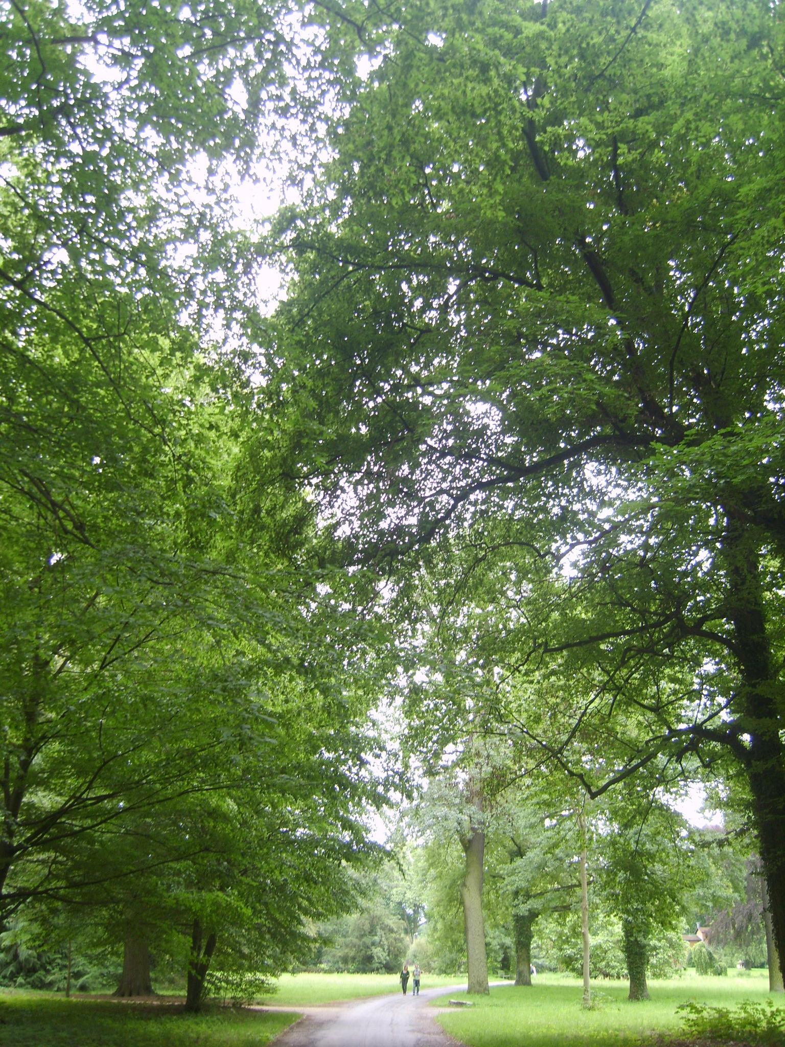 The huge trees at Sans Souci, Potsdam.